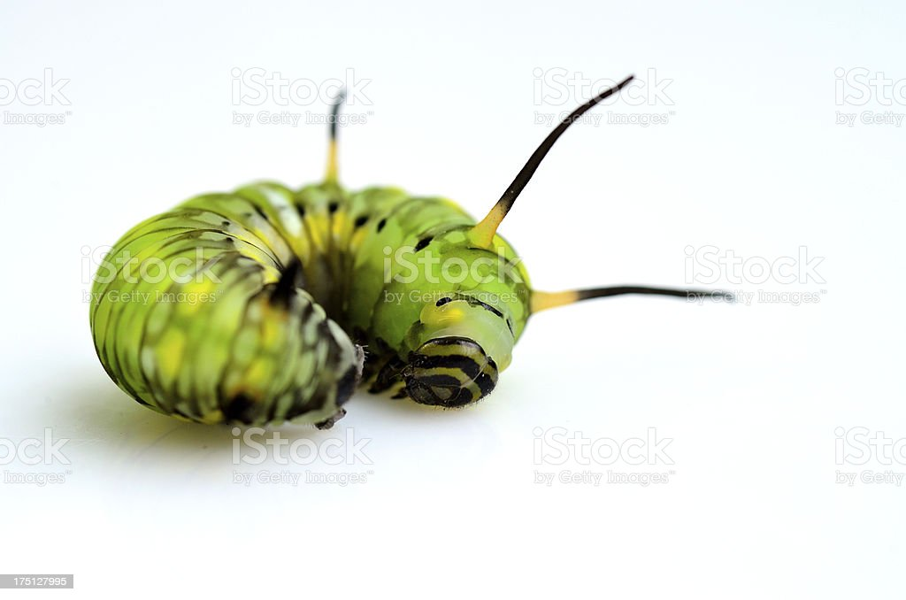 Green butterfly worm is lying on the white background stock photo