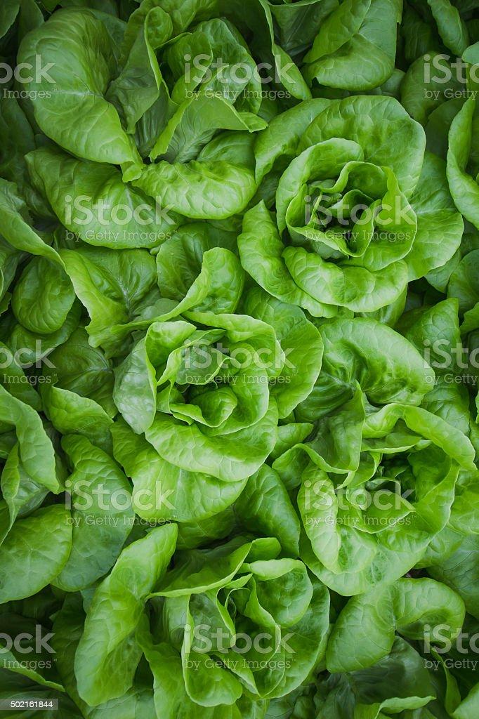 green butterhead lettuce in pattern stock photo