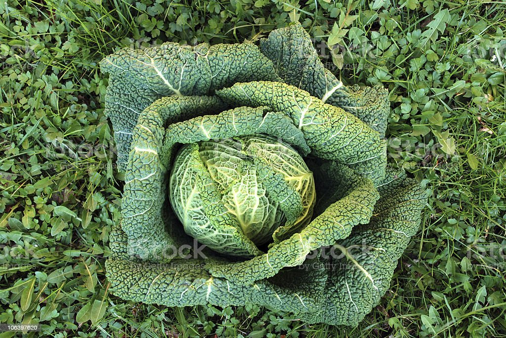 Green cabbage over grass royalty-free stock photo