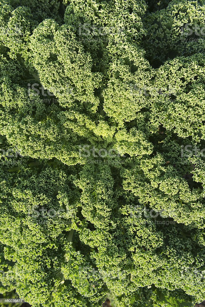 Green cabbage ( Brassica oleracea var. sabellica L. ) stock photo