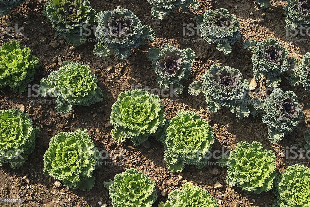 Green cabbages royalty-free stock photo