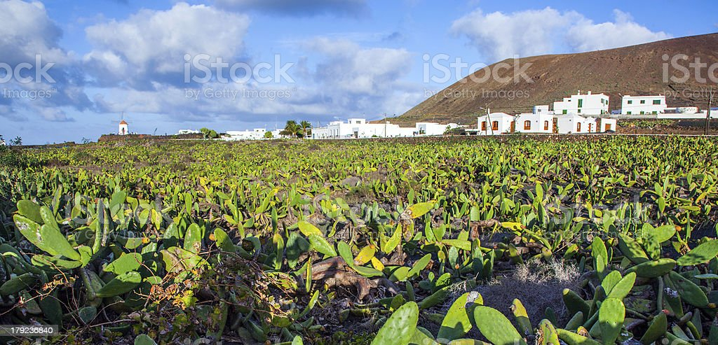green cactus field with village in background royalty-free stock photo