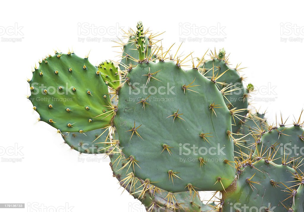 Green Cactus isolated royalty-free stock photo