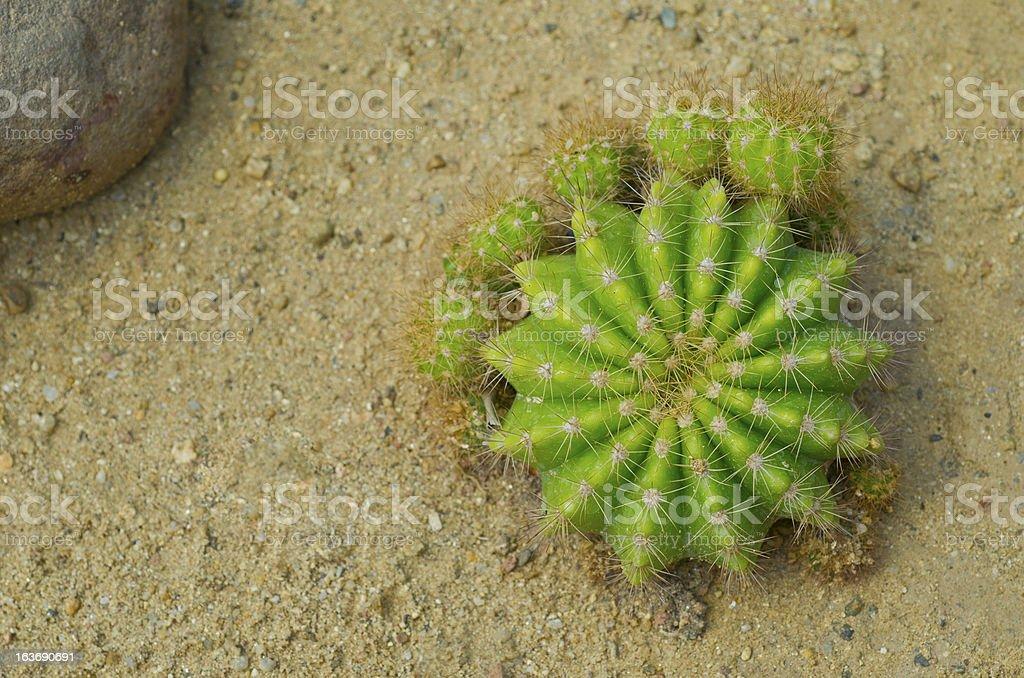Green Cactus royalty-free stock photo