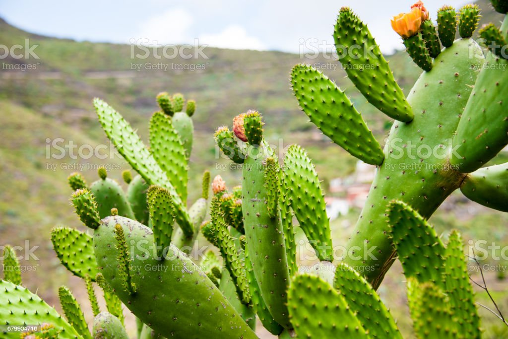 Green Cactus stock photo