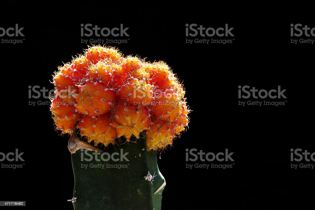 Green Cactus plant grafted with Orange Cactus stock photo