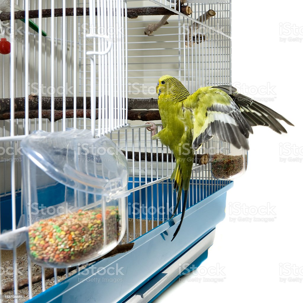 Green canary lands on entrance to its cage stock photo