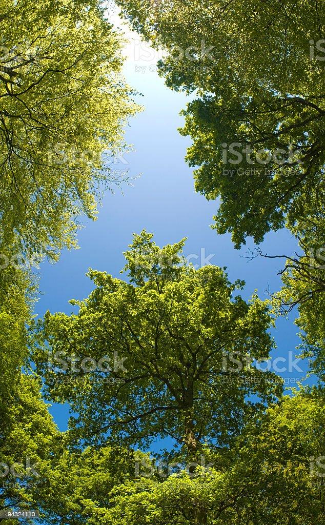 Green canopy, blue skies royalty-free stock photo