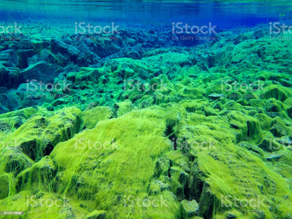 Green Carpet Algae in Continental Split at Silfra in Deep Section at Pingvellir National Park stock photo