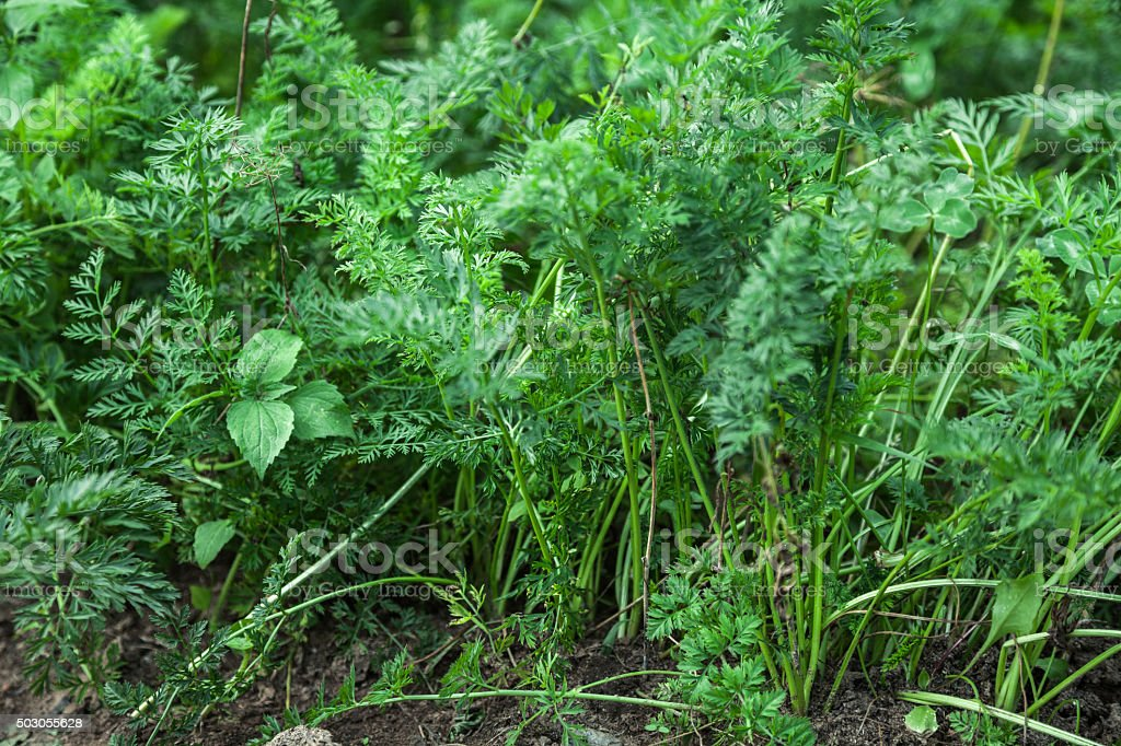 Green carrot bushes stock photo
