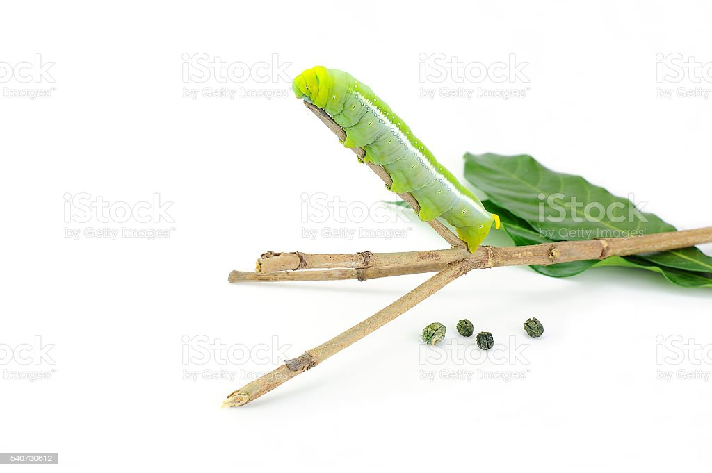 green caterpillar and tee branch on white background stock photo
