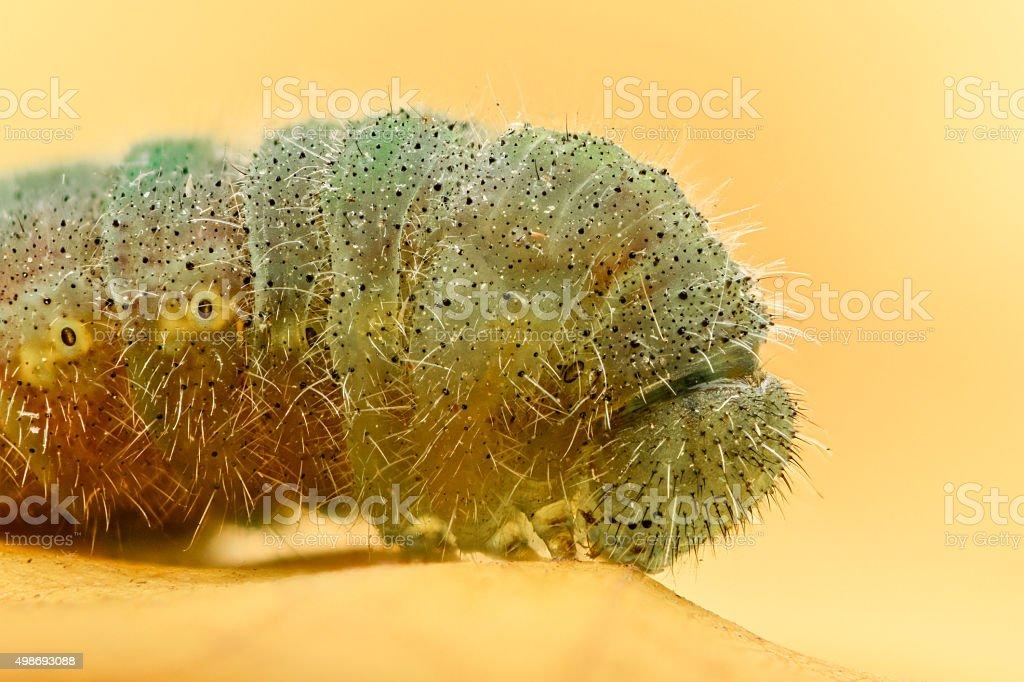 Green caterpillar closeup, high magnification stock photo