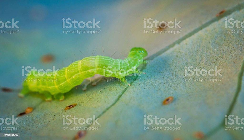 Green caterpillar crawling across a fresh green leaf stock photo