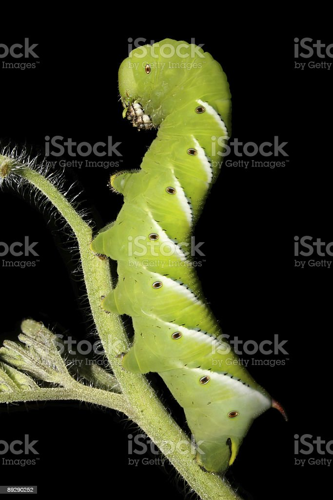 Green Caterpillar Moving Up In The World royalty-free stock photo