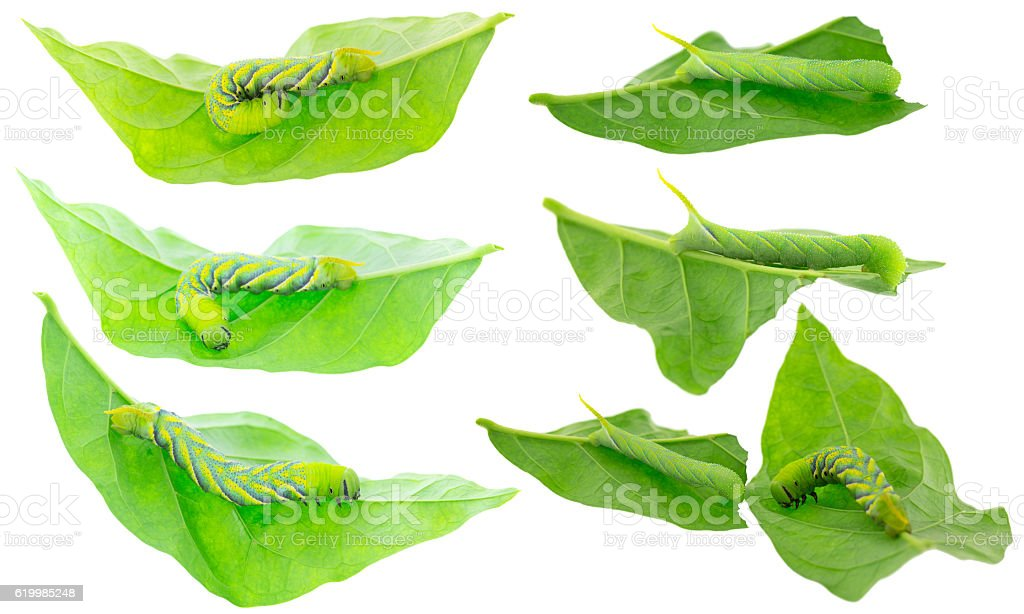 Green Caterpillar of death's head hawkmoth on green leaves stock photo
