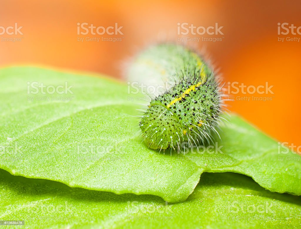 green caterpillar on  green  leaf,pest eating leaf stock photo