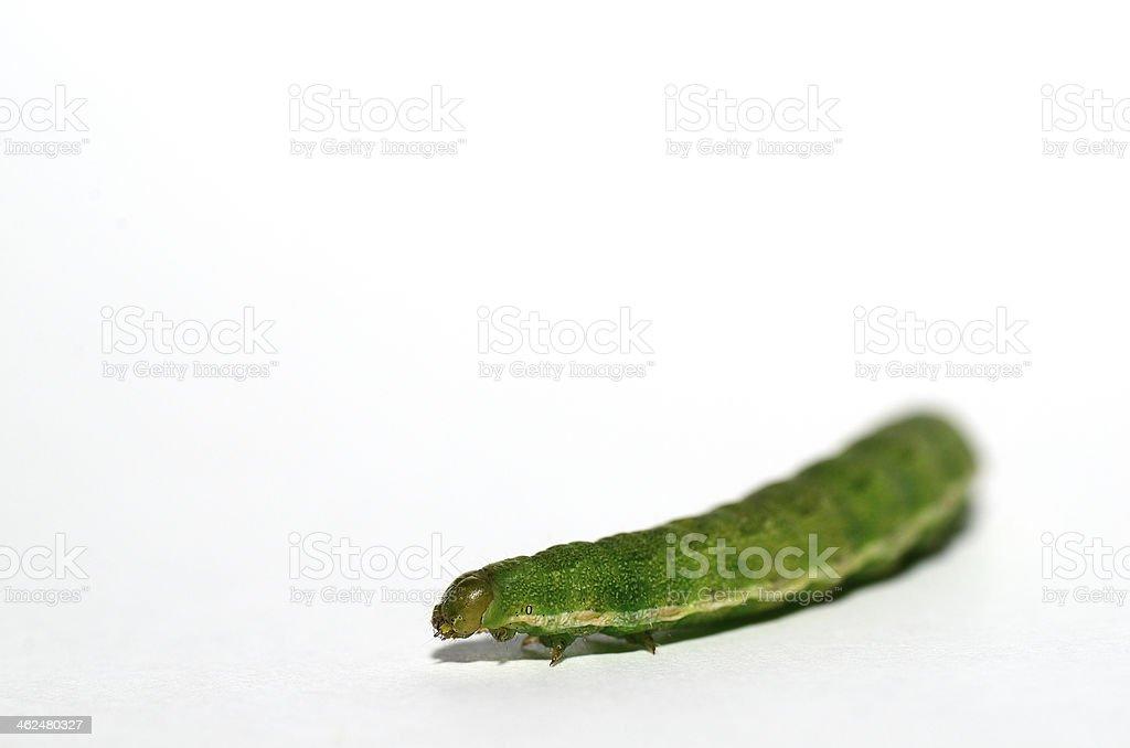 green caterpillar on white stock photo