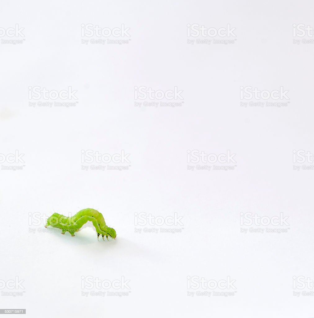 Green Caterpillar stock photo