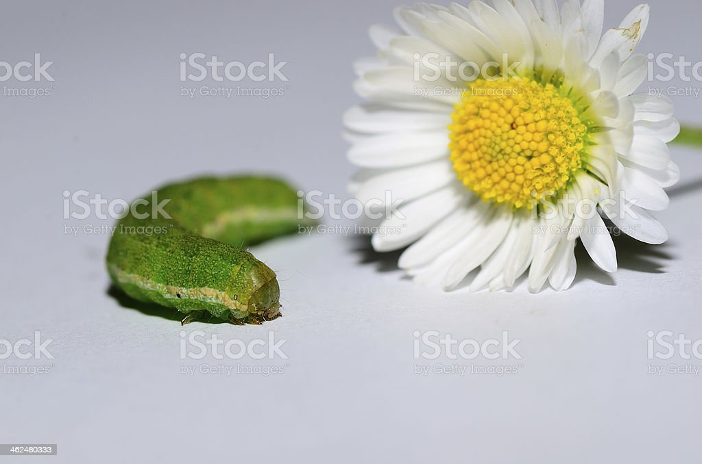 green caterpillar with flower stock photo