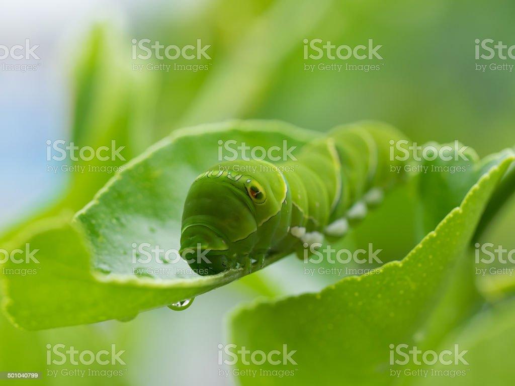 Green caterpillar_Larva of the swallowtail butterfly stock photo