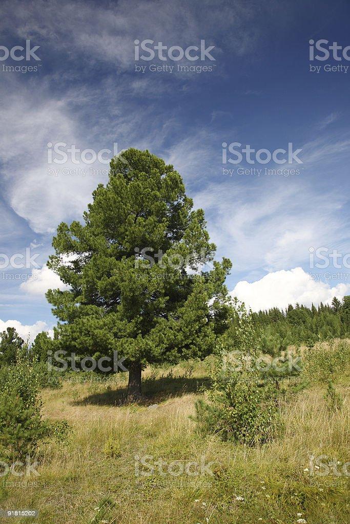Green cedar in taiga royalty-free stock photo