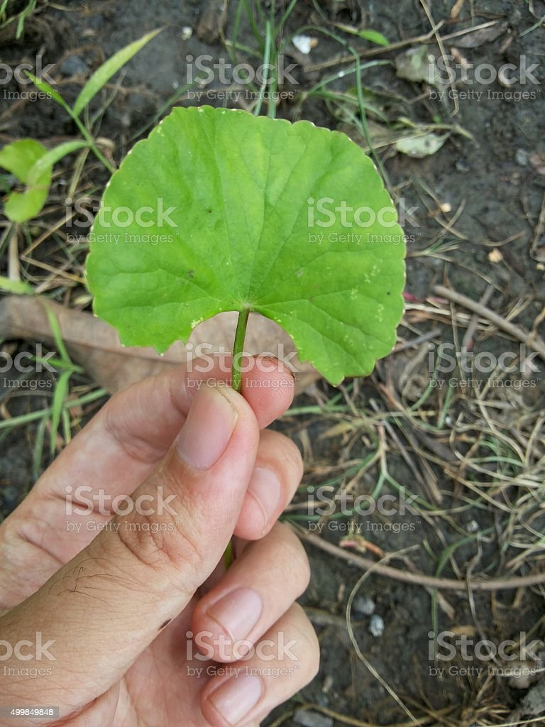green centella asiatica leaves stock photo