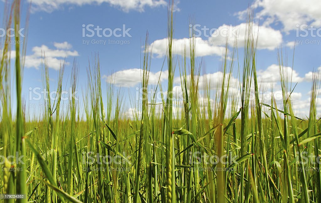 Green cereals. royalty-free stock photo