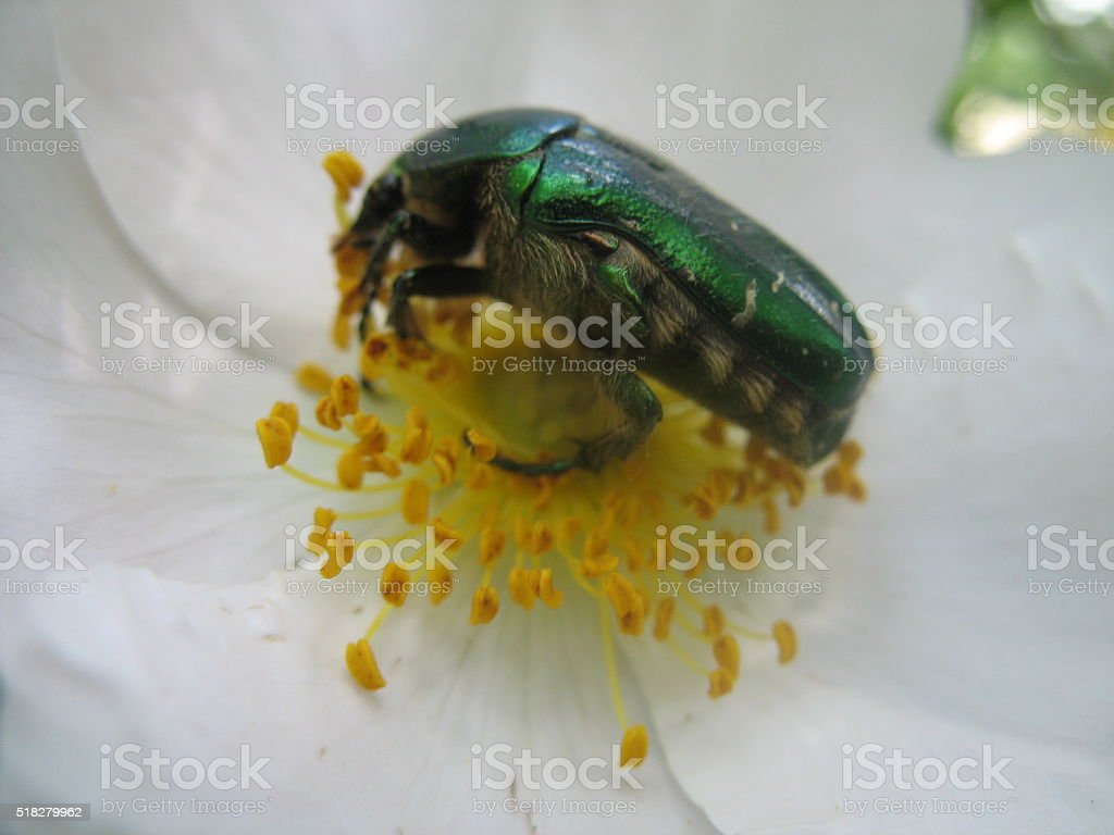 Green chafer in the wild rose stock photo