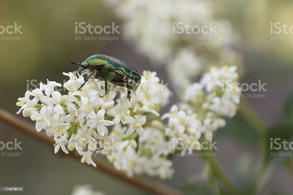 green chafer royalty-free stock photo