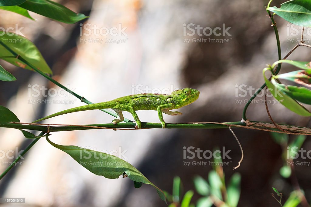 Green chameleon Anja stock photo