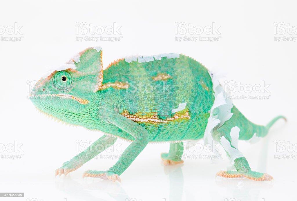 Green chameleon changing skin stock photo