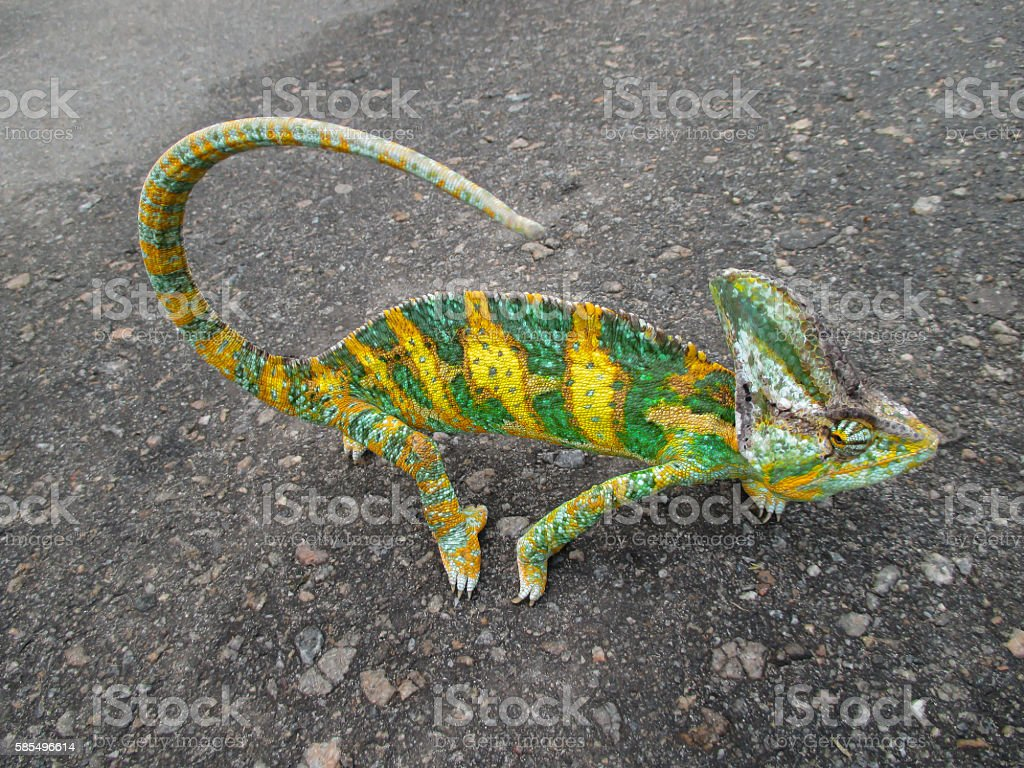 Green chameleon in a yellow strip stock photo