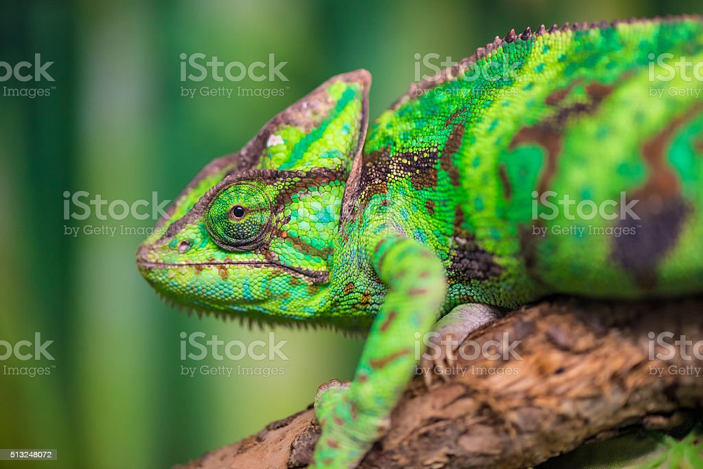 green chameleon on a branch looking at the camera close-up stock photo