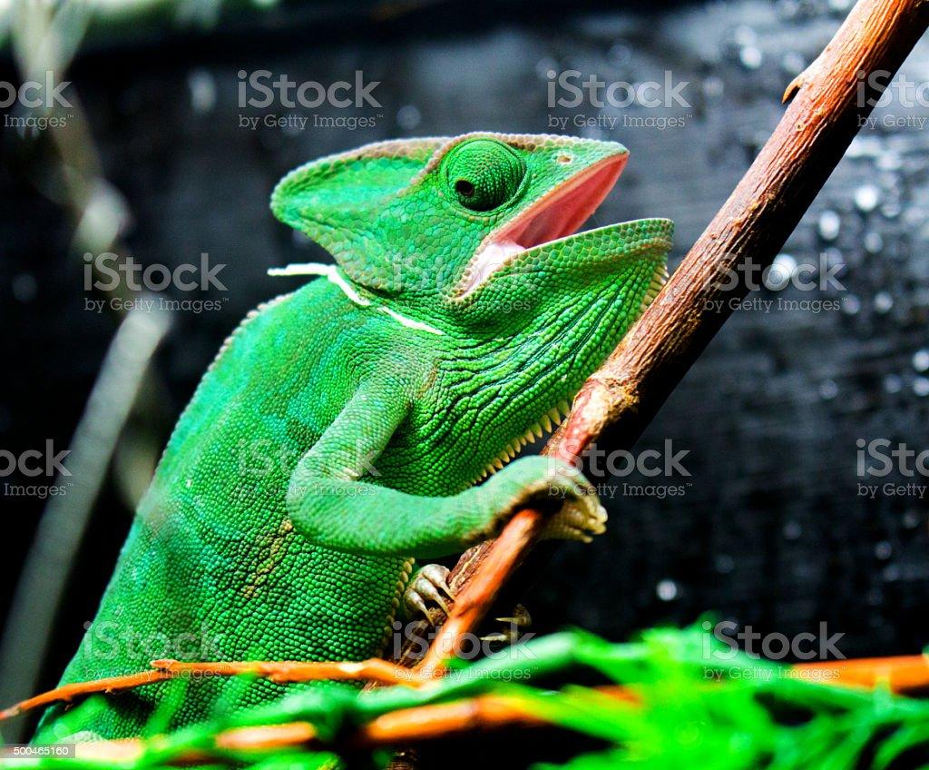 Green Chameleon royalty-free stock photo