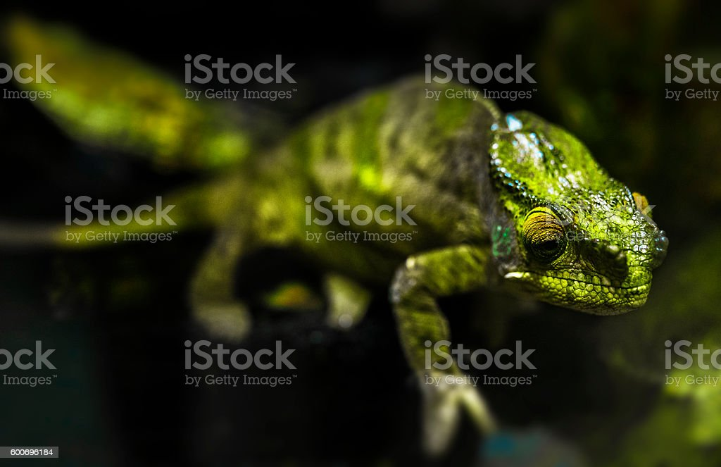 green chameleon stock photo