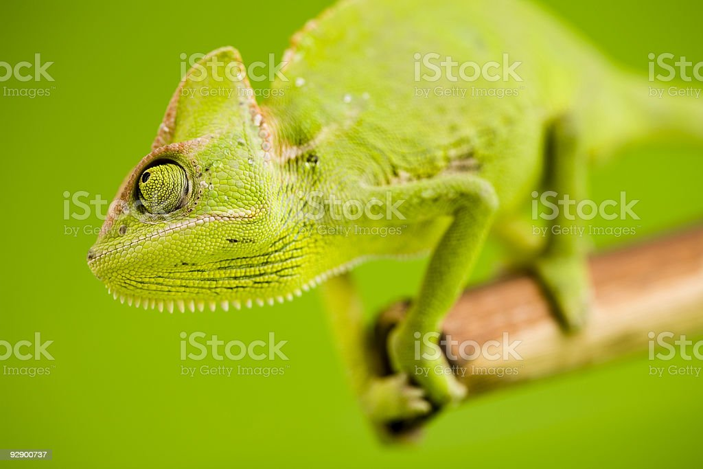 Green chameleon royalty-free stock photo