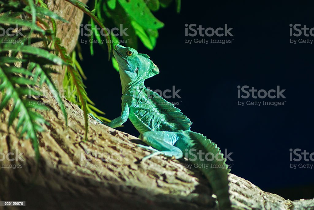 Green chameleon sitting in a tree stock photo