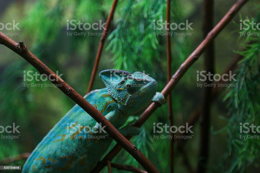 Green Chameleon Sitting on Plant Stalk stock photo