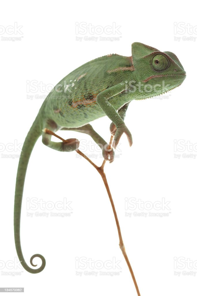 A green chameleon standing on a twig stock photo