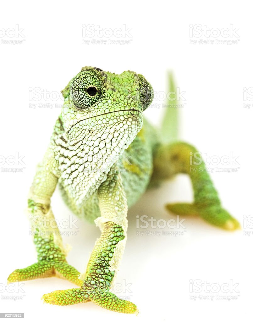 A green chameleon standing on a white surface royalty-free stock photo