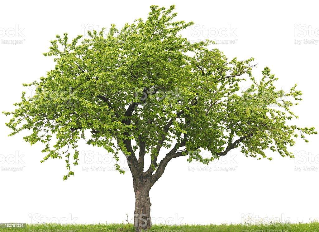 Green cherry tree or Prunus avium on grass field stock photo