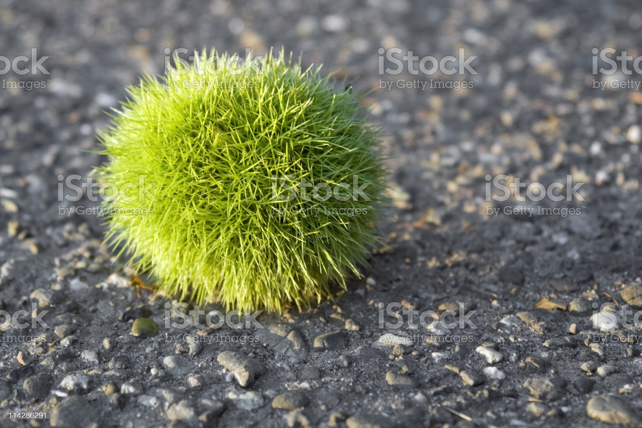 green chestnut ball royalty-free stock photo