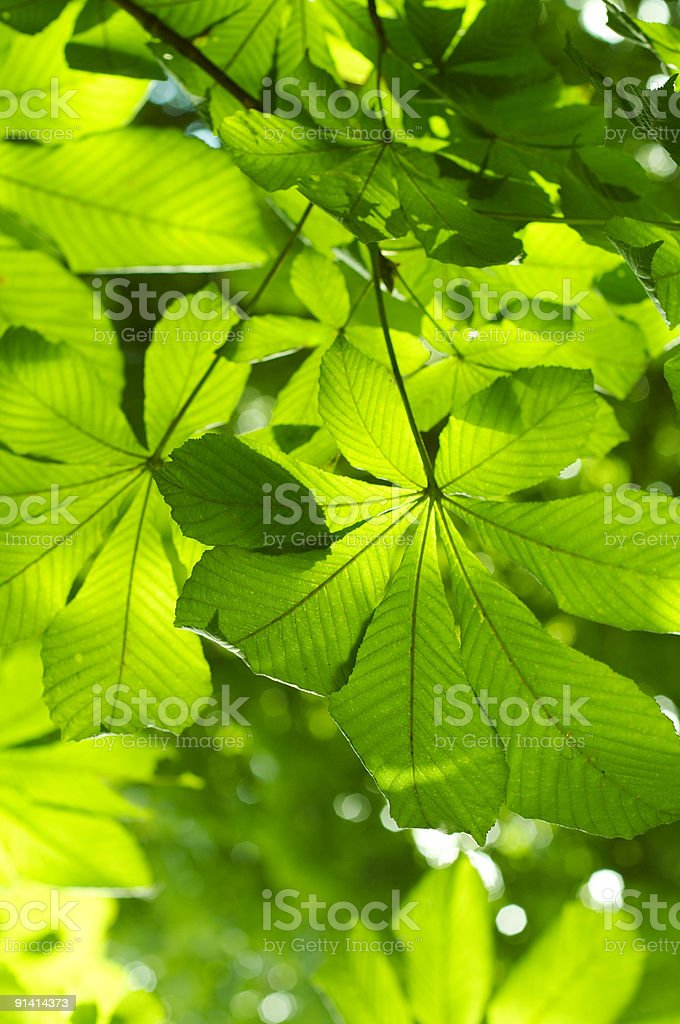 green chestnut foliage background royalty-free stock photo