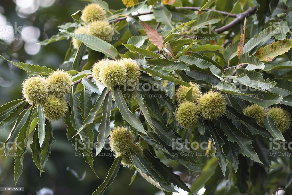 Green Chestnut Husks, Autumn Image stock photo