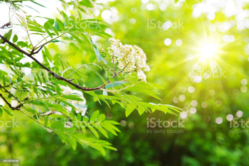 Green chestnut leaves and bright sun stock photo