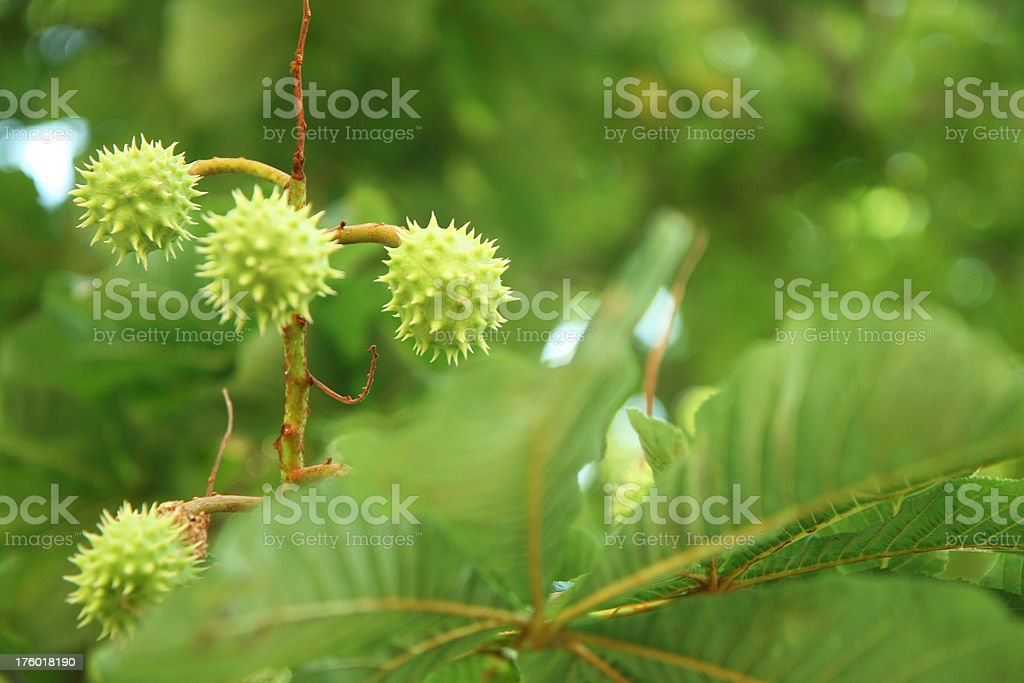 green chestnuts royalty-free stock photo