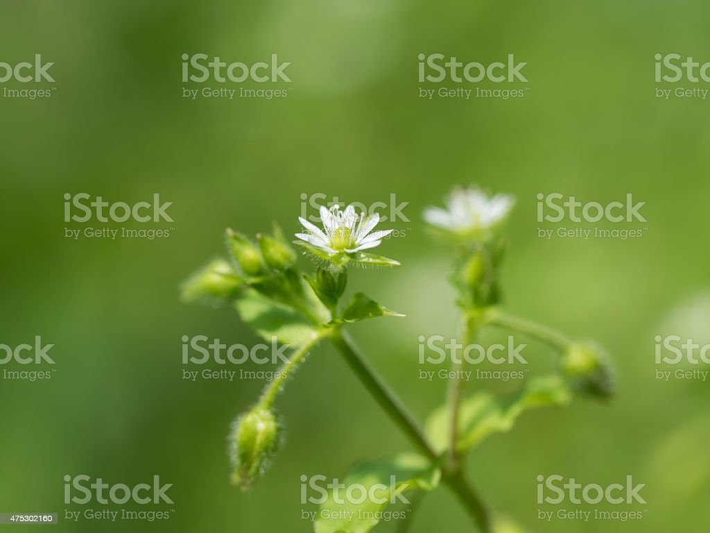 Green chickweed stock photo