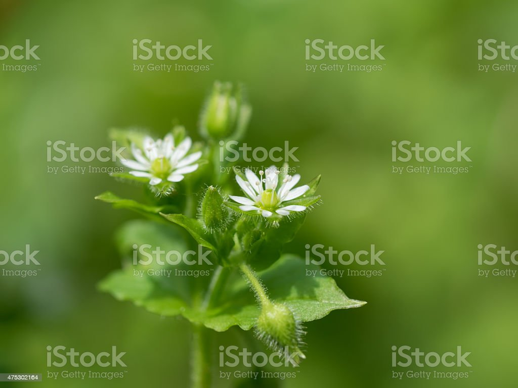 Green chickweed stock photo