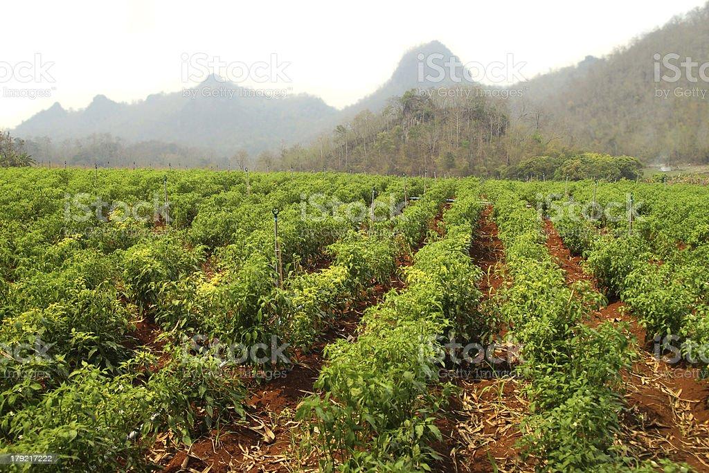 Green chili plantation royalty-free stock photo