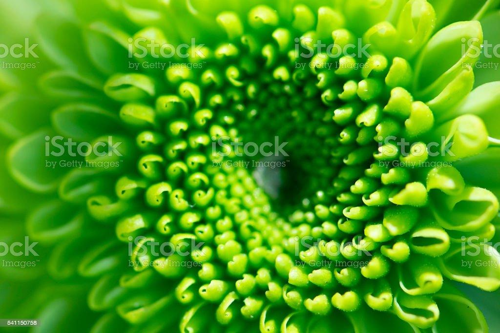 Green chrysanthemum flowers background stock photo